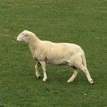 Sheep Baa